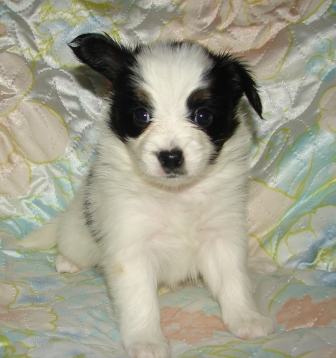 щенок Папийон