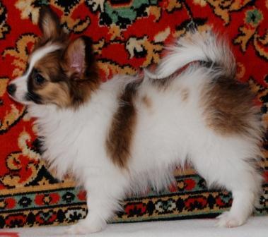 щенок папийона девочка