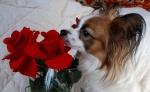 Цветочки любят все девушки папийоны...